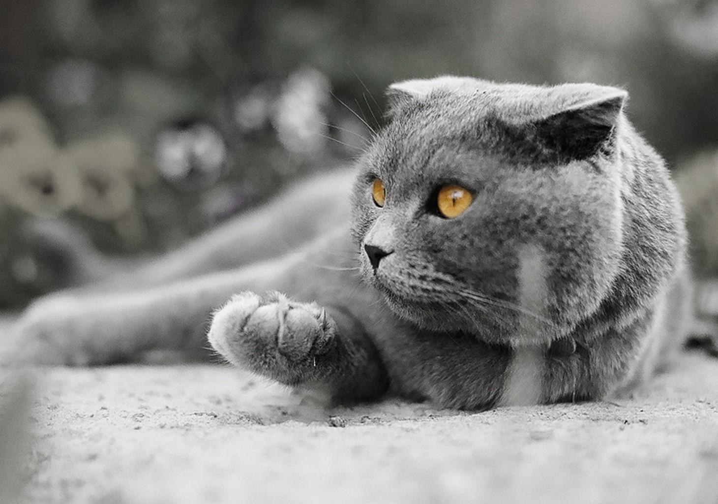 Открытка для, смешные коты британцы картинки